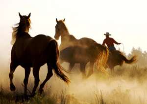 Horses and cowboy