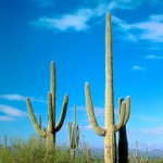 Saguaros Refuse To Tell Their Ages