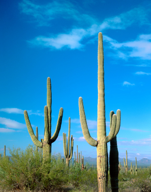 Saguaro 1