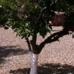 Why Do People Paint Citrus Tree Trunks White?