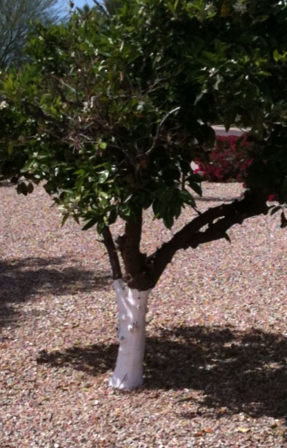 Fabulous Why Do People Paint Citrus Tree Trunks White? | Arizona Oddities SW68