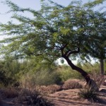 How to Grow a Mesquite Tree