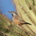 Why Don't Cactus Wrens Impale Themselves?