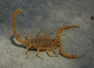Bark Scorpion