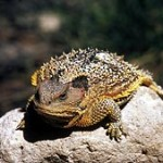 Are Horny Toads Disappearing from Phoenix?