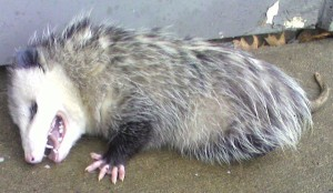 Opossum playing dead.
