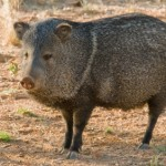 How to Keep Javelinas Away from Your Yard