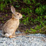 Why Do Rabbits Have White Tails?