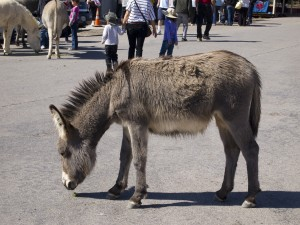 Burro in Oatman