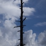 Mysterious Arrow Tree Sticks out on Coronado Scenic Byway Trail