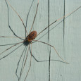 Daddy longlegs are not actually spiders. Photo Credit: iStock