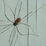 Are Daddy Longlegs Poisonous?