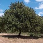 Carob Trees Rank Among The Rankest