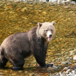 The Bear Facts About Christopher Creek