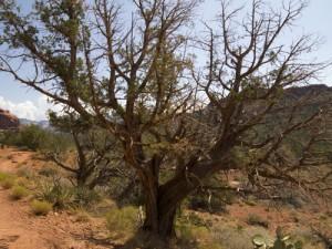 Twisted Juniper at Boynton Canyon
