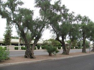 Olive trees in Old Town Scottsdale.