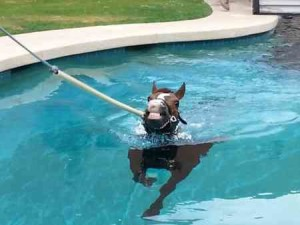 Horse swimming in a therapy pool at Los Cedros. Courtesy of Scottsdale Leadership.