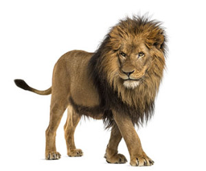 Side view of a Lion walking, Panthera Leo, 10 years old, isolated on white