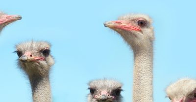 Ostrich festival in Chandler Arizona