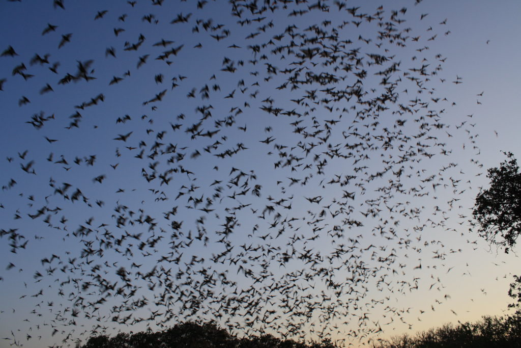 thousands of Mexican free tail bats make Phoenix tunnel their summer home
